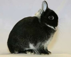 Netherland Dwarf Full Grown White